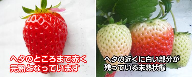 ヘタの近くまで赤いイチゴを選ぶ
