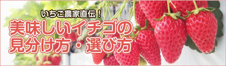 美味しいイチゴの見分け方・選び方