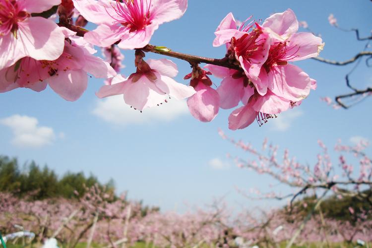 桃山町 梅の花