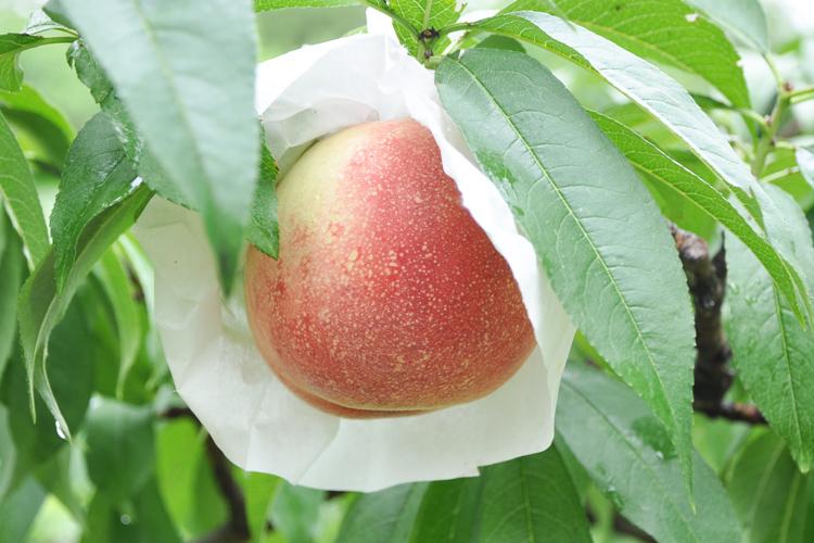 桃 旬の時期